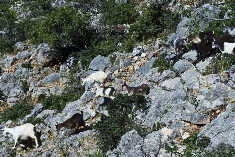 Cabras en roca Bukovica Croacia fotografía de archivo