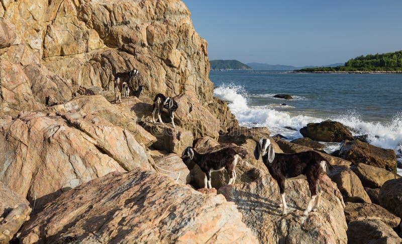 Cabras en Rocky Outcrop imagenes de archivo