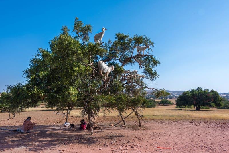 Cabras en un árbol del Argan, cerca de Essaouira, Marruecos foto de archivo