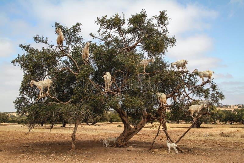Cabras en un árbol del argan, Marruecos imagen de archivo