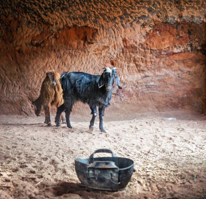 Cabras en una ciudad abandonada antigua de la roca del Petra en Jordania fotos de archivo