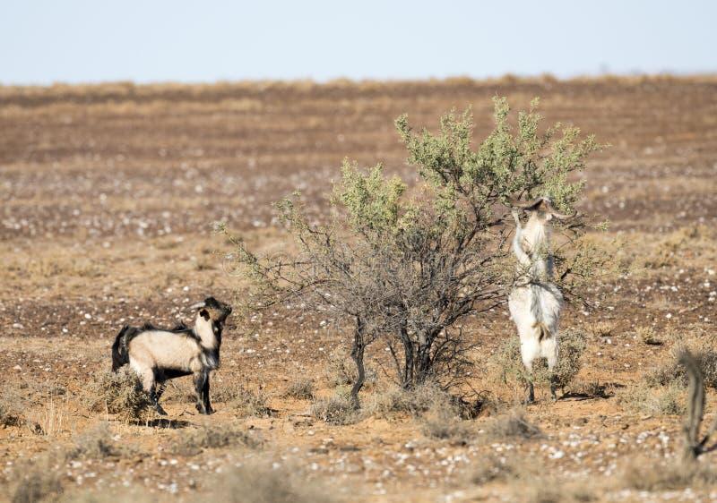 Cabras ferozes selvagens imagens de stock