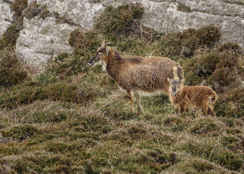 Cabras ferozes selvagens no charneca além do afloramento rochoso fotos de stock royalty free