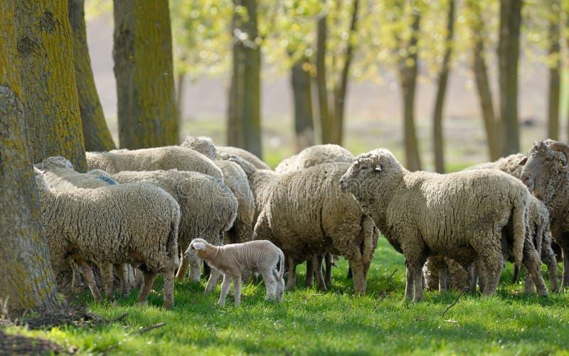 Cabras Graze Grass Spring de las ovejas fotografía de archivo libre de regalías