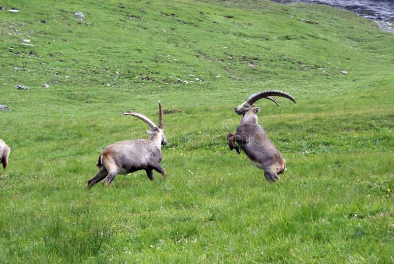 Cabras monteses de la lucha foto de archivo