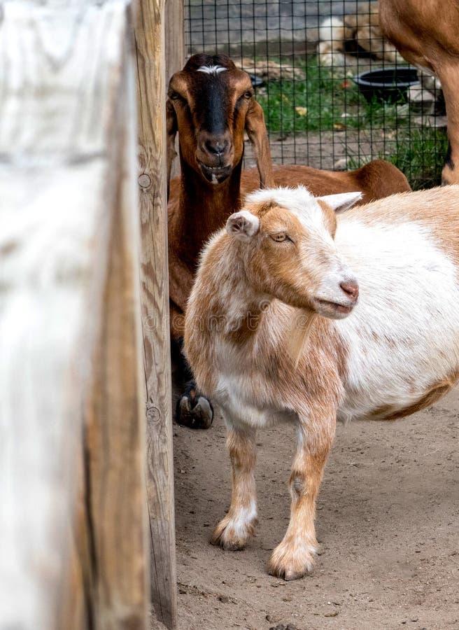Cabras na espera do jardim zoológico de trocas de carícias para crianças fotografia de stock royalty free