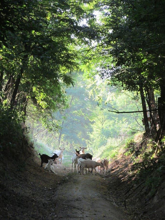 Cabras na estrada imagens de stock