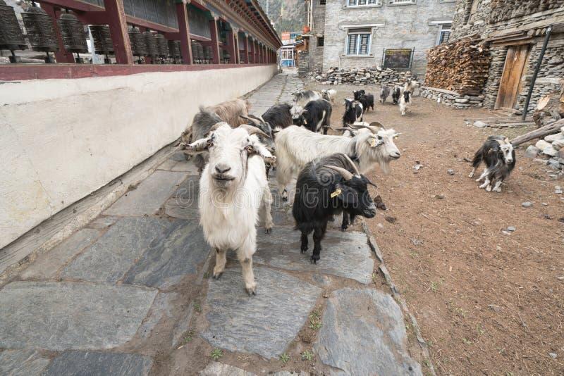 Cabras na vila de Nepal, paisagem no circuito de Annapurna, trekking imagem de stock royalty free