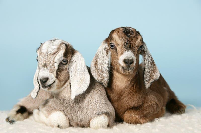 Cabras novas anglo-nubian em lãs fotos de stock royalty free