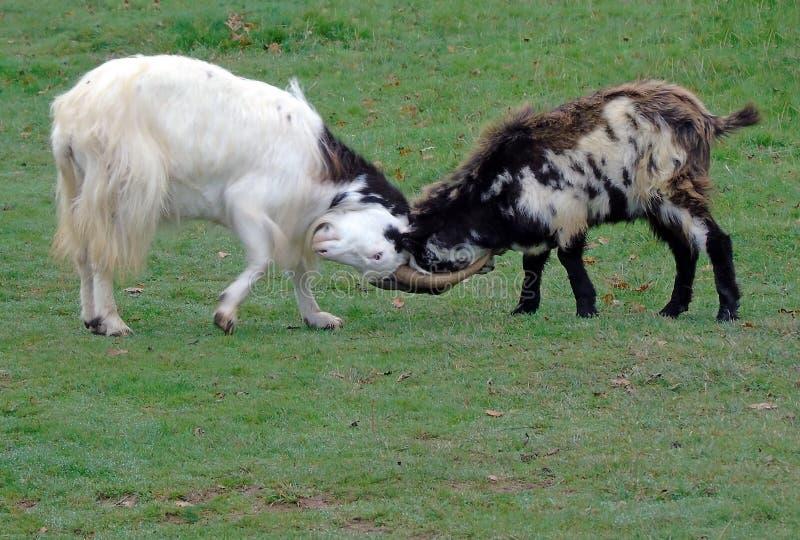 Cabras que cierran los cuernos, garganta del Cheddar, Somerset, Reino Unido fotos de archivo
