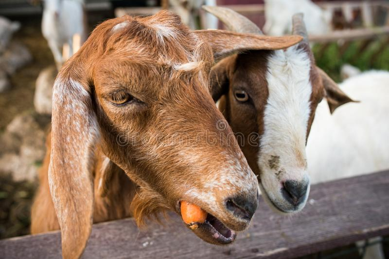 Cabras que comem cenouras foto de stock royalty free