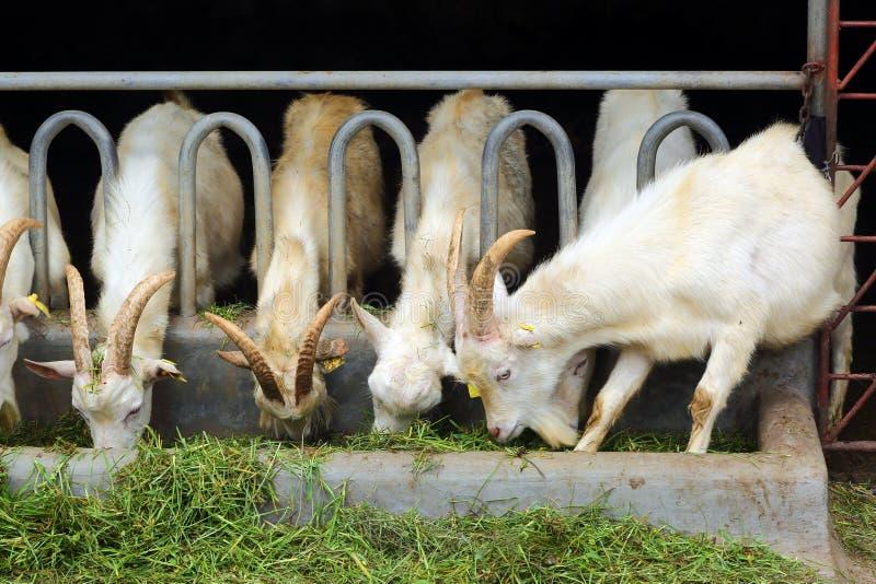 Cabras que comem a grama na exploração agrícola fotos de stock