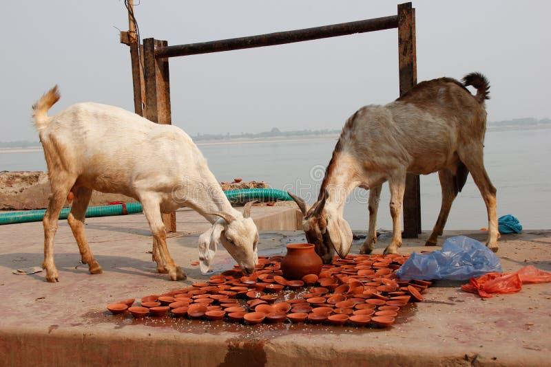 Cabras que comen oblaciones en Varanasi/la India foto de archivo libre de regalías