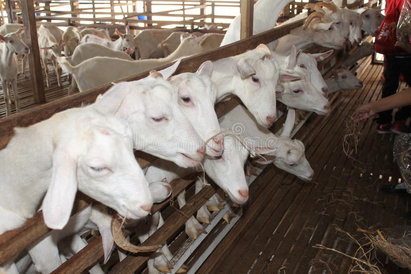 Cabras que esperam para ser alimentado imagens de stock royalty free