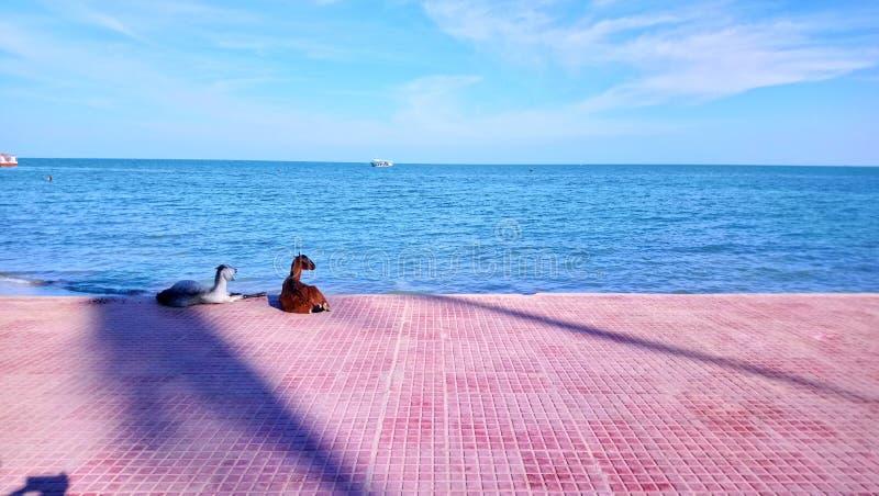 Cabras que miran el mar en la orilla de mar cielo azul hermoso y cielo fotos de archivo