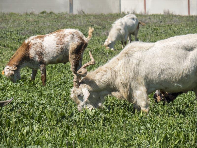 Cabras que pastam em um prado fotos de stock