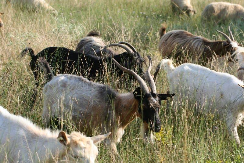Cabras que pastam a grama imagem de stock royalty free