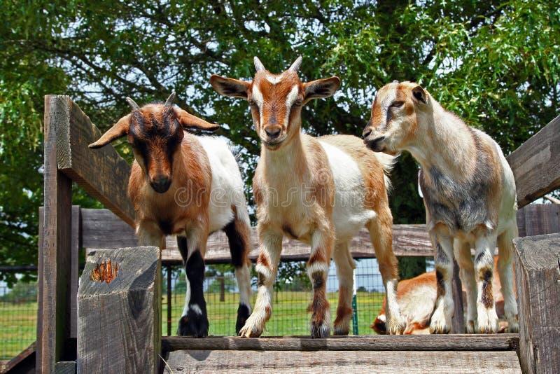 Cabras que se colocan en el tablero de madera fotos de archivo