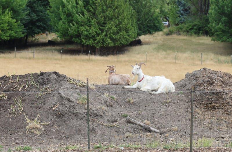 Cabras que se enfrían en un día frío en una granja de Oregon fotografía de archivo