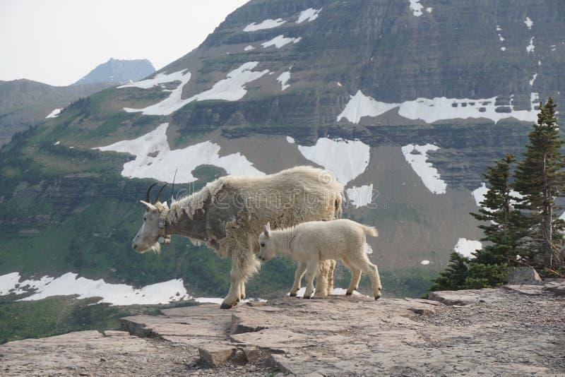 Cabras salvajes de la mamá y del bebé en Parque Nacional Glacier foto de archivo