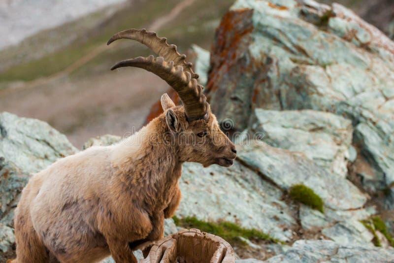 Cabras selvagens na montanha imagem de stock royalty free