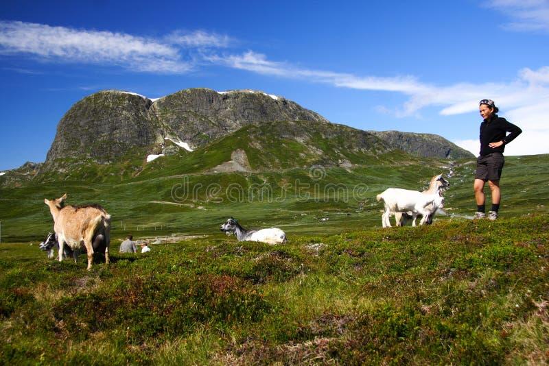 Cabras y caminante en Noruega foto de archivo libre de regalías