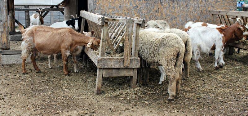 Cabras y ovejas que comen el heno fotografía de archivo