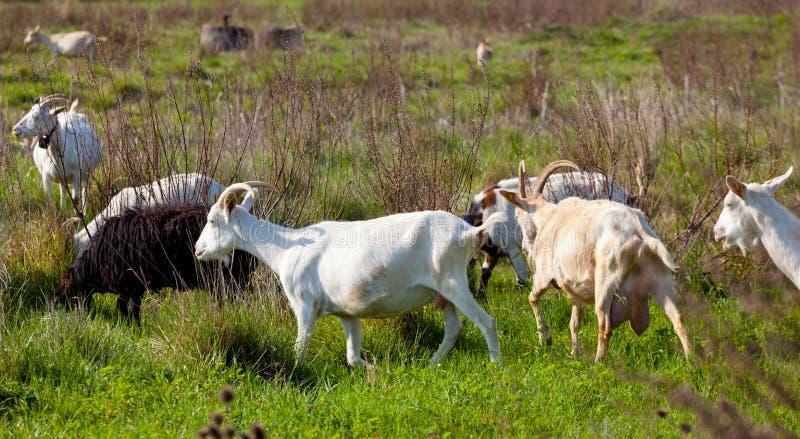 Cabras y ovejas que comen la hierba fotos de archivo libres de regalías