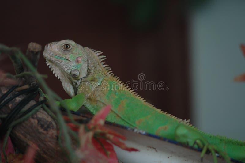 Cabrite-lagarto fotografía de archivo