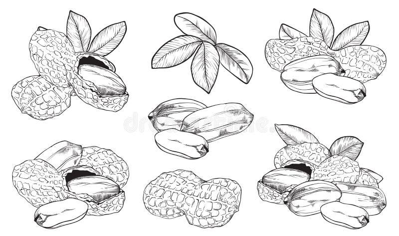 Cacahuete del vector en el fondo blanco Tuercas aisladas libre illustration