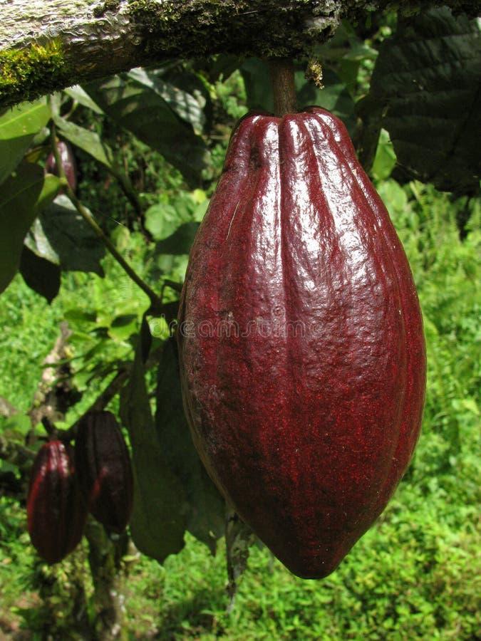cacao стоковые изображения rf