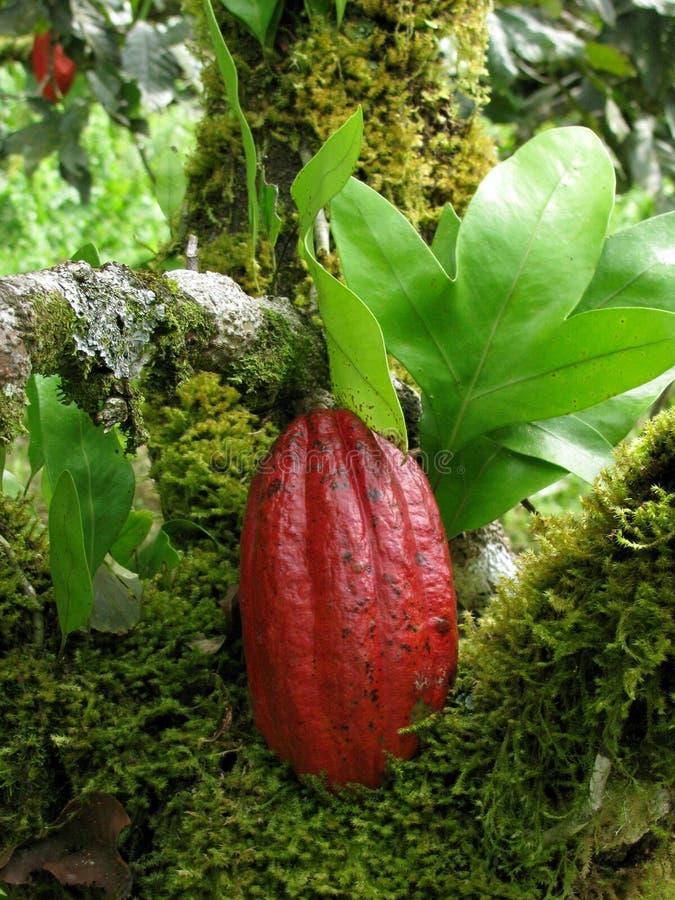 cacao стоковые изображения