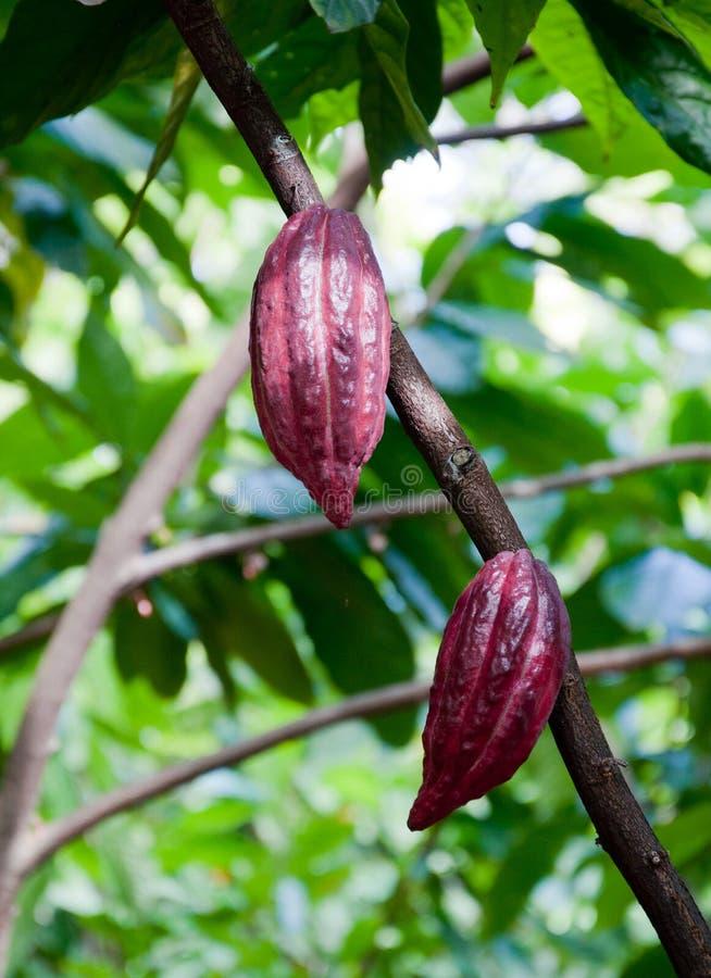 cacao foto de stock royalty free
