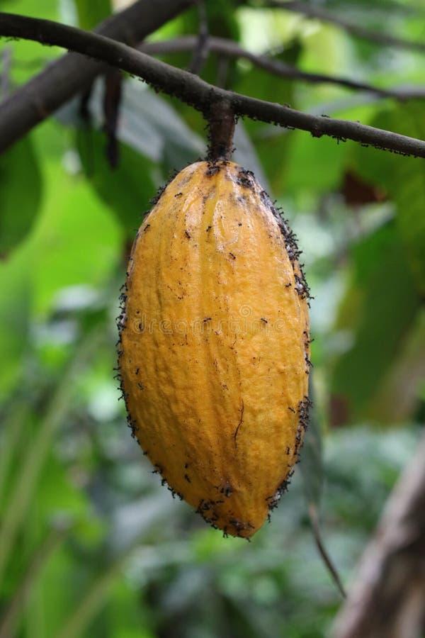 cacao fotografia de stock royalty free
