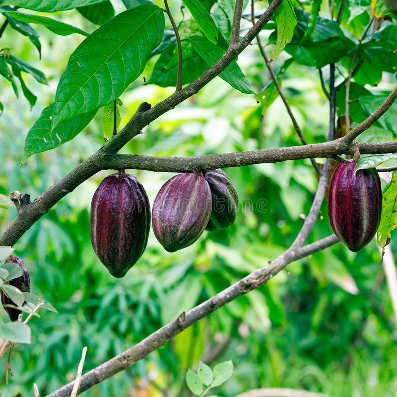 Cacao-beans (chocolate tree), Bali royalty free stock photo