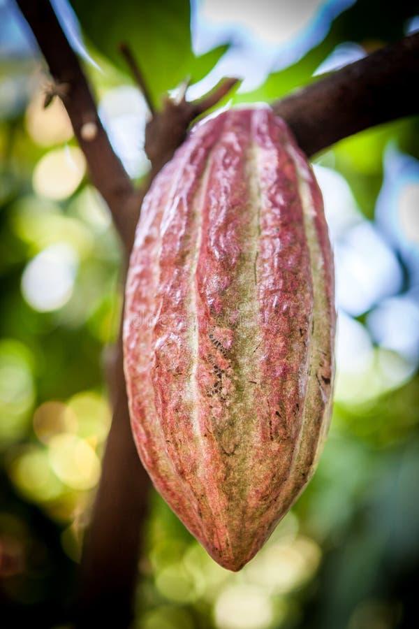 Cacao drzewa Theobroma cacao Organicznie kakaowi owoc strąki w naturze obrazy royalty free