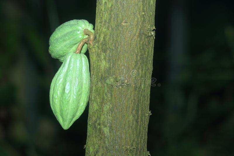 Cacao drzewo fotografia royalty free