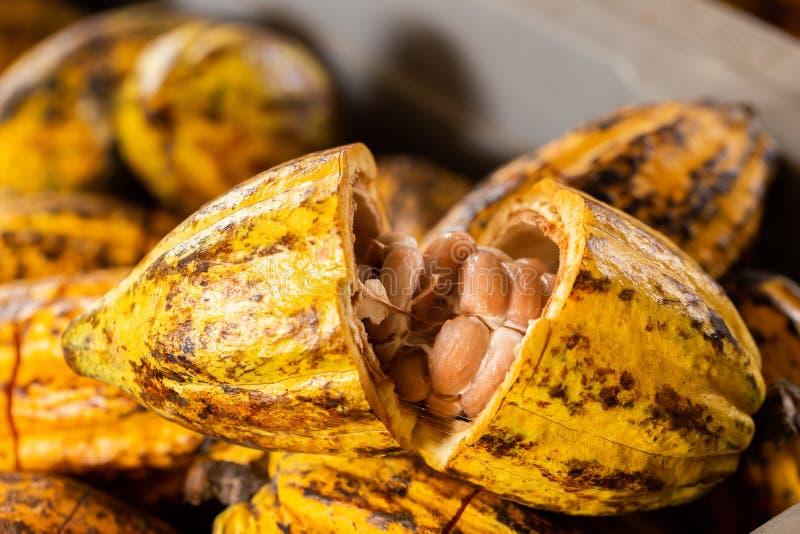 Cacao drzewo (Theobroma cacao) Organicznie kakaowi owoc strąki w naturze fotografia royalty free