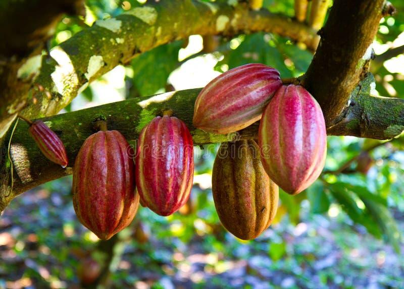 Cacao frais images libres de droits