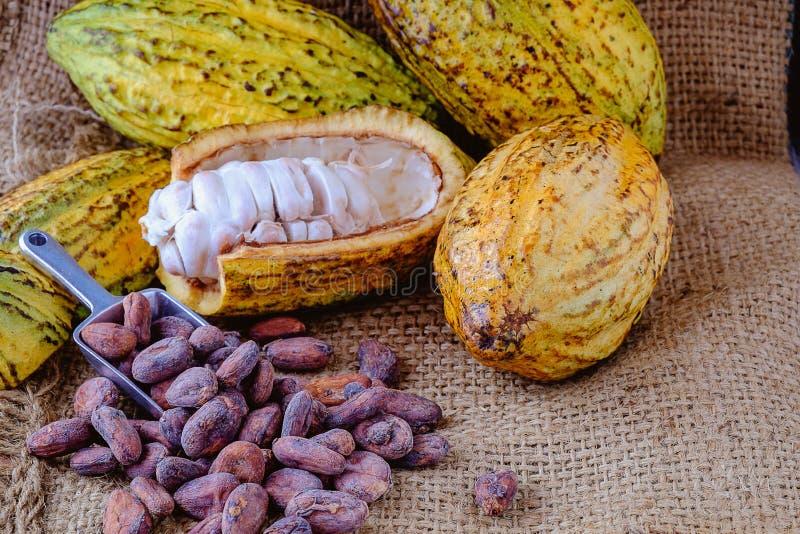 Cacao fresco con las vainas del cacao y los granos de cacao fotos de archivo