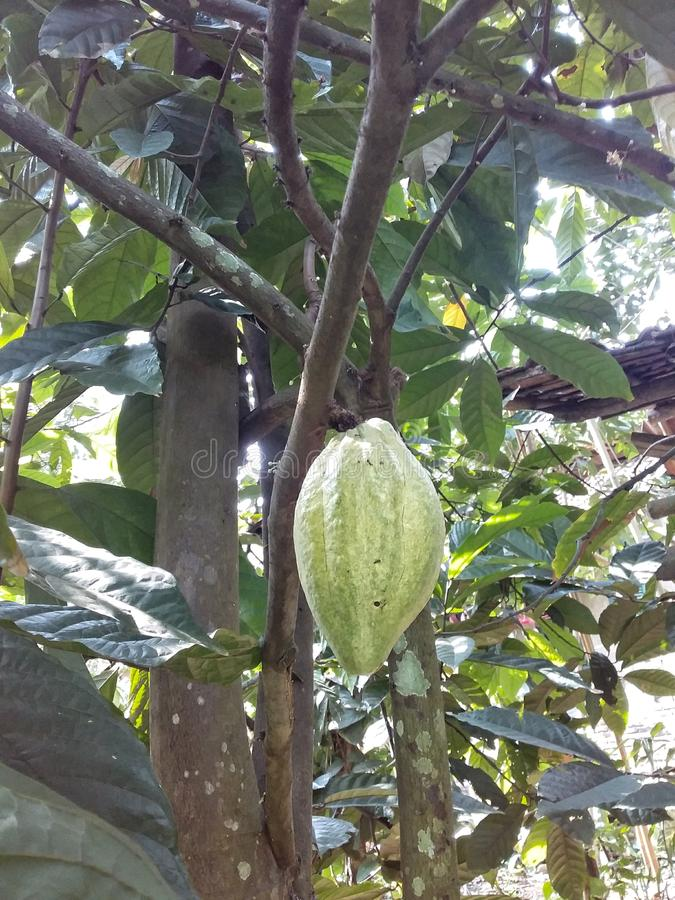 Cacao fruit royalty free stock images