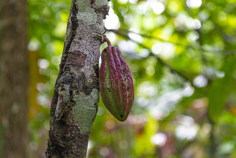 Cacao Fruit Tree in the Amazon Rainforest, Ecuador. Cacao fruit hanging on the tree, ready to be harvested in the Amazon rainforest of Ecuador. The latest royalty free stock image