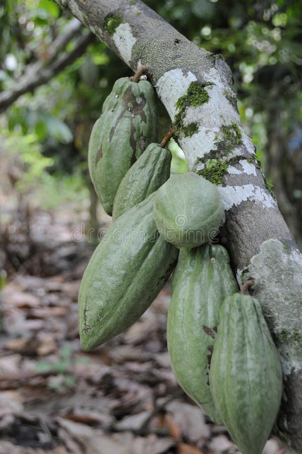 Cacao fruits in a plantation near Lake Poso stock photography