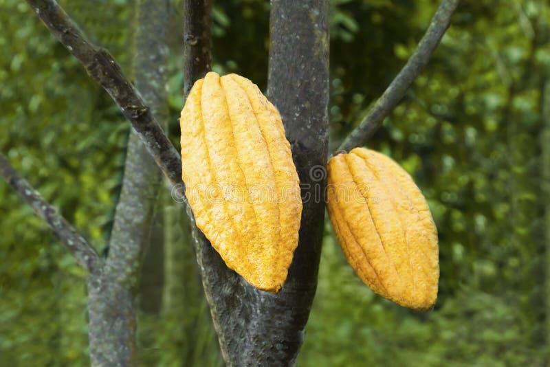 Cacao owoc zdjęcie royalty free