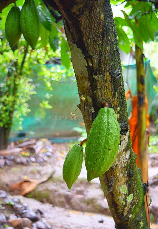Cacao owoc na Kakaowym drzewie - Theobroma Cacao obraz royalty free