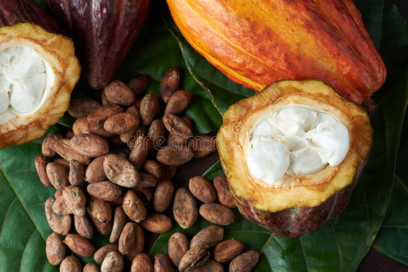 Cacao plant close-up royalty free stock photography