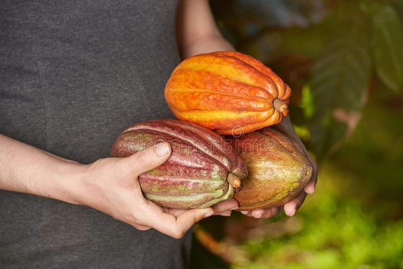 Cacao plant fruits royalty free stock images