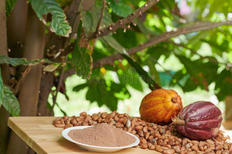 Cacao plant and fruits royalty free stock image