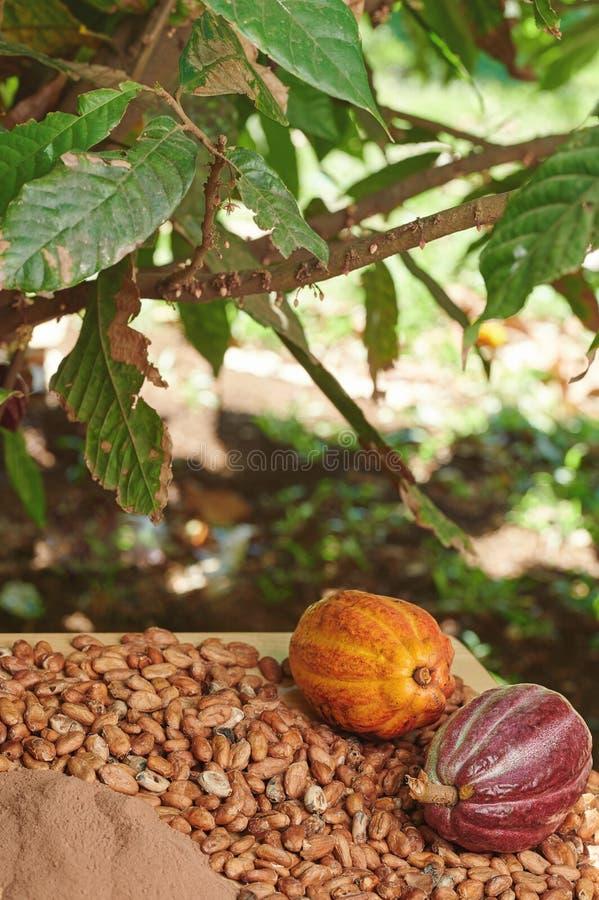 Cacao plant theme royalty free stock photo
