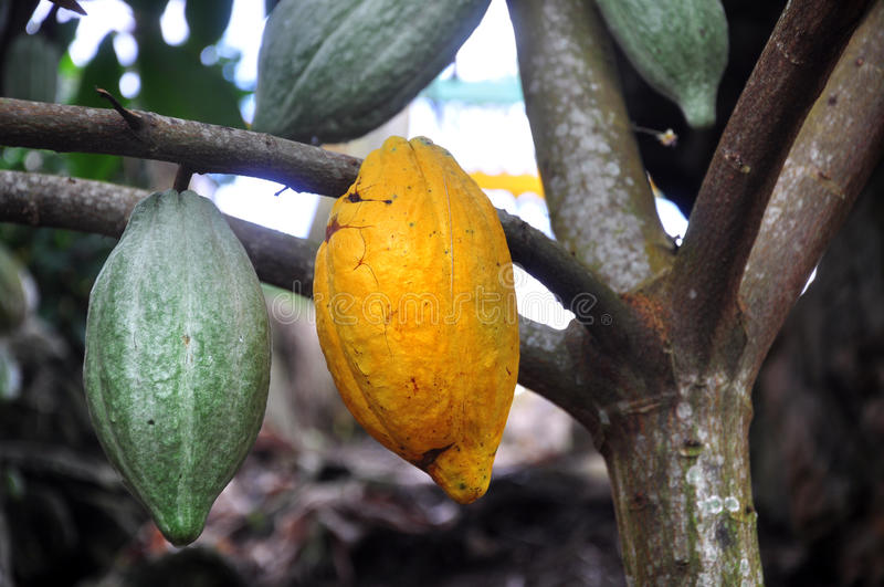 Download Cacao Pod On Tree Stock Photography - Image: 23360022